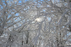 Sun shining through snow covered branches Royalty Free Stock Photos