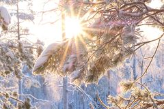 Sun shining through snowy trees.  Stock Images