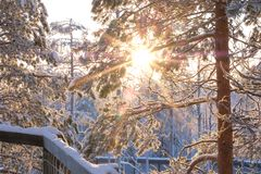 Sun shining through snowy trees.  Stock Photography