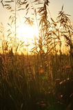 Sun shining through some tall grass. Sun glows and shines through some tall grass in a field Royalty Free Stock Images