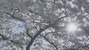 Sun Shining Through Spring Blossom Tree stock video footage