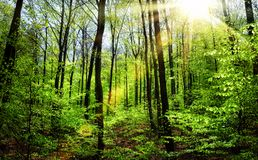 The sun shining through spring's fresh foliage Royalty Free Stock Photography