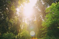 Sun shining in summer forest through canopy of tall trees. Looking up. In summer mixed forest trees woods to canopy. Bottom view wide angle background. Pine royalty free stock photography