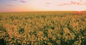Sun shining at sunset sunrise over horizon of spring flowering canola, rapeseed, oilseed field meadow grass. blossom of stock footage