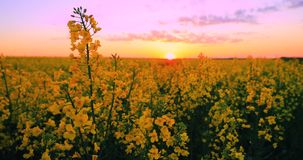 Sun shining at sunset sunrise over horizon of spring flowering canola, rapeseed, oilseed field meadow grass. blossom of stock video footage