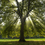 Sun shining through sycamore. Sunrays shining through a sycamore tree Stock Image