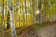 Sun shining through the tall yellow and green aspen in the forest during foliage season Royalty Free Stock Photos