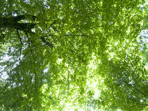 Sun shining though green tree branches Stock Photography