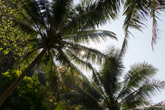Sun shining throug canopies of coconut palms in Stock Photography