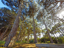 Sun shining throught pine trees Stock Images