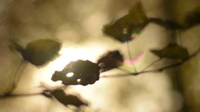 Sun shining throw fall leaves. Autumn forest. stock footage