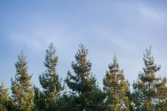 Sun shining on the top of a row redwood trees Sequoia Sempervirens at sunset on a cloudy sky background, California royalty free stock photos