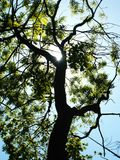 Sun shining through tree. Low angle view of sunlight shining through branches of tree Royalty Free Stock Images