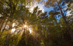 Sun shining through tree branches Stock Image