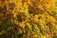 Sun shining on tree branches covered with vividly coloured autumn leaves. Abstract fall background.  stock image