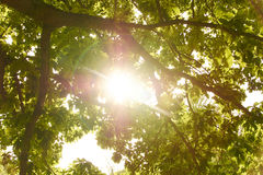Sun shining through tree Royalty Free Stock Photo