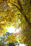 Sun shining through tree covered in autumn leaves Royalty Free Stock Images