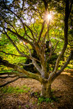 The sun shining through a tree at Cylburn Arboretum, in Baltimor Royalty Free Stock Image