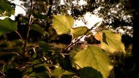 Sun shining on tree leaves. stock video footage