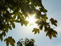 Sun shining through tree leaves Stock Images