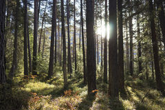 Sun shining between tree trunks in a forest. Sun shining between tree trunks in a pine forest in the Austrian alps in the Tirol in a nature background Royalty Free Stock Images