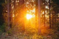 Sun shining through trees. Beautiful bright Sunset Stock Images