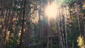 Sun is shining through the trees in dark forest in mountain. Pristine forest with long trees trunks, moss, green grass and shining shimmering sunset, 4k stock video