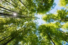 The sun shining through trees in forest in beautiful sunny day. The view from bottom to the top. Nice sun beams, shadows and colors stock photos