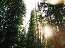 Sun shining through trees in pine forest Stock Photos