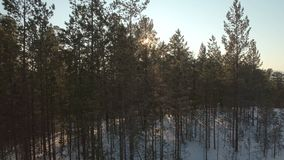 Sun shining through trees in winter. Aerial shot of evening coniferous forest stock footage