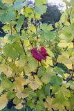 Sun shining trough colorful leaves in a vineyard on a beautiful royalty free stock photography