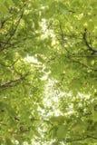 Sun shining through walnut tree leaves Stock Images