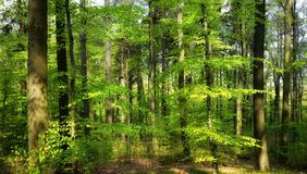 The spring sun shining into the forest royalty free stock image