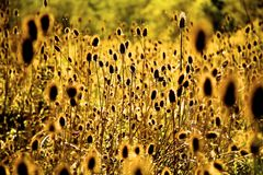 Sun Shining Through Weeds. Sunlight backlighting weeds in a field stock images