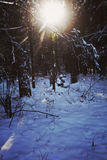 Sun shining in winter wood covered by snow, back light Royalty Free Stock Image