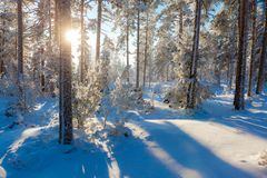 Sun shining through wintry forest and making blue shadows royalty free stock photography