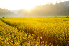 Sun shining on yellow flowers in China. Sun is shining bright on a landscape of yellow flowers in the evening, China Stock Photo