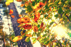 Sun shining through yellow leaves in the forest Royalty Free Stock Photo