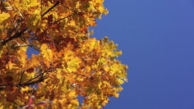 Sun shining through yellow oak tree leaves. Blue sky on the background. Beautiful autumn golden forest. Yellow leaves. Fluttering in the wind. Idyllic fall stock video footage