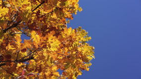 Sun shining through yellow oak tree leaves. Blue sky on the background. Beautiful autumn golden forest. Yellow leaves. Fluttering in the wind. Idyllic fall stock video