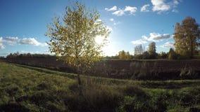 Sun shining through yellowing birch tree growing in the fields, time lapse 4K. Sun shining through yellowing birch tree growing in the fields on sunny day, time stock video
