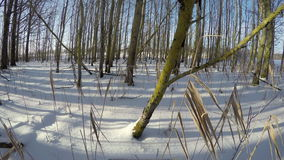 Sun shining through young trees in snow covered forest, time lapse 4K stock video footage