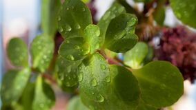 Sun is shinning to the houseplant with green leaves and water drops after watering. Branch is swinging due to the wind.