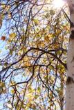 Sun shinning a través del árbol de abedul ruso foto de archivo libre de regalías