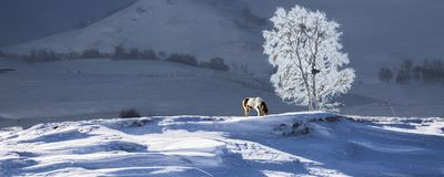 Snow, yushu and horses stock photos