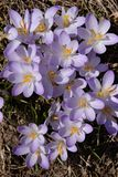Sun shower of purple crocus Royalty Free Stock Photos