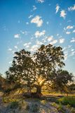 Sun Silhouette Oak Tree Royalty Free Stock Images