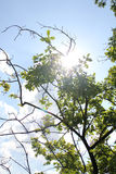 Sun in the Sky. Branch in the sun with blue sky Stock Image