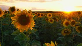 Sun, sky and sunflowers. Beautiful sunset over a field of blooming sunflowers. The rays of light beautifully make their way throug stock video footage