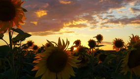 Sun, sky and sunflowers. Beautiful sunset over a field of blooming sunflowers. The rays of light beautifully make their way throug stock footage